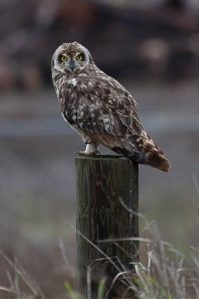 Pueo - The Hawaiian Short Eared Owl